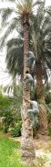 Local man climbing a date palm tree (Oasis of Nefta, Tunisia)