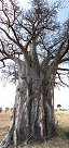 Baobab tree in Tarangire National Park (Tanzania)