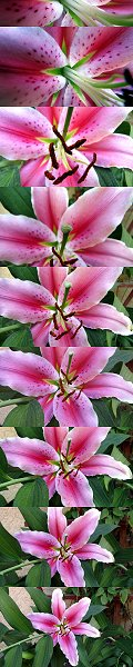 Click here to download wp_stargazerlily.zip